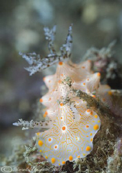 Nudibranch. Unknown. Lembeh straits. D200, 105mm. by Derek Haslam 